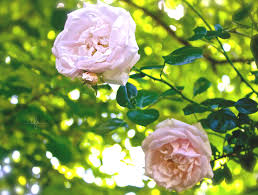 favorite flowering vines for your garden angie the freckled rose