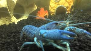 blue and orange crayfish in a home aquarium blue one molted