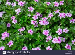 vinca flower madagascar or periwinkle or vinca flower catharanthus roseus