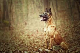 belgian shepherd malinois temperament 10 best personal protection dog breeds u2013 iheartdogs com