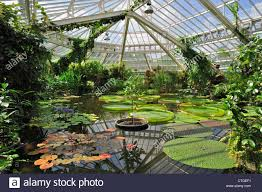 giant water lily pads in the victoria house greenhouse of the