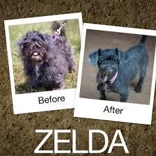 toilettage de l affenpinscher 10 transformations incroyables de chiens errants qui redonnent foi
