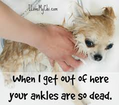 Cute Dog Memes - 21 funny chihuahua memes