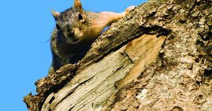 How To Hunt Squirrels In Your Backyard by Squirrel Hunting Basics Best Tactics And Guns Outdoor Life