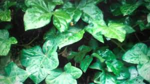 english ivy for sale 49 cents per plants from tn online nursery