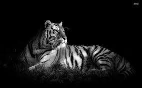 black and white tiger wallpaper wallpapersafari