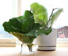Fiddle Leaf Fig Tree Care by All About Fiddle Leaf Fig Care Tips And Easy Propagation Fiddle