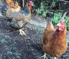 the chicken tunnel good life permaculture