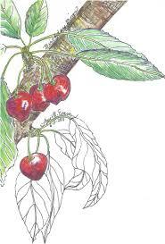 cherry point farm market ann m evans author writer illustrator