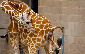 a baby giraffe was born at como zoo gomn