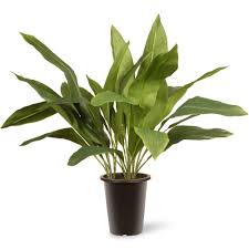 Indoor Trees For The Home by National Tree Company 30 In Garden Accents Aspidistra Plant