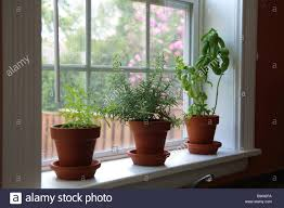 a windowsill herb garden with lavender rosemary and basil stock