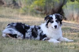 cost of australian shepherd puppies for sale