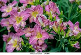 Purple Lillies Purple Lilies Stock Photos U0026 Purple Lilies Stock Images Alamy