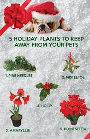 christmas plants toxic christmas plants harden ranch veterinary hospital
