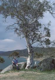 pacific horticulture society on growing eucalypts in the pacific
