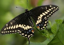 84 meaning of white butterfly in house in butterfly meaning of