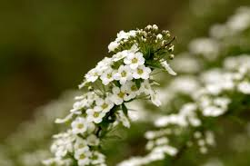 alyssum flowers how to grow and care for your sweet alyssum