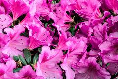 Purple Lillies Beautiful Purple Of Calla Lilies In Garden Stock Photo Image