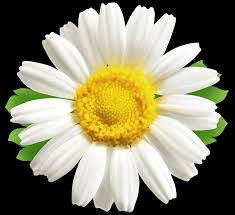 daisy png clipart image gallery yopriceville high quality