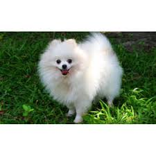 american eskimo dog price in kolkata pomeranian dog manufacturers suppliers u0026 wholesalers