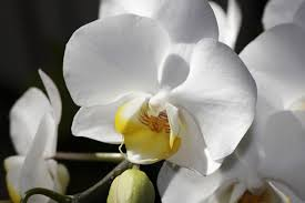 easy to grow orchid plants phalaenopsis dendrobium moth orchids in