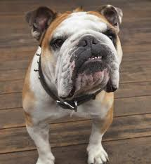 10 cool facts about bulldogs bulldog