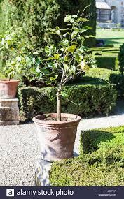 verona italy march 27 2017 decorative lemon tree in giusti