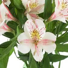 pink lilies blush peruvian lilies flower