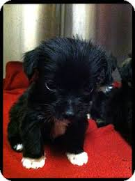 australian shepherd yorkie mix for sale yorkie shihtzu puppies adopted puppy glastonbury ct yorkie