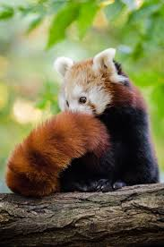 383 best red panda images on pinterest red pandas animals and