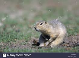 richardsons ground squirrel grooming flickertail stock photo