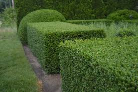 fresh unique evergreen shrubs for hedges privacy 13325