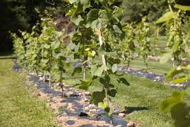 vineyard at home face the cold facts of growing grapes in nh