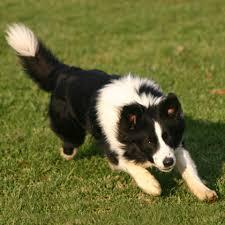 incrocio border collie x australian shepherd educazione del cane
