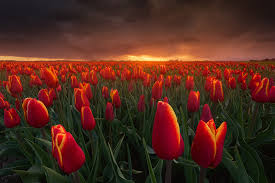 Netherlands Tulip Fields Where And How To Shoot Tulips In The Netherlands