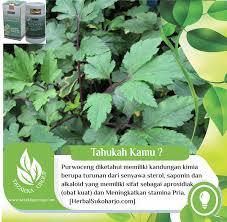tanaman herbal purwoceng sebagai obat kuat dan penambah stamina