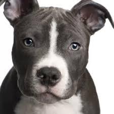 american pitbull terrier jaw current affairs culture u0026 politics