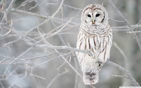 incredible images owls wallpapers amazing owls images collection