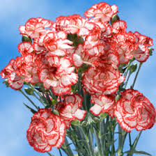Wholesale Carnations 200 Assorted Carnations Plus 160 Assorted Spray Mini Carnations