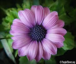 purple flower purple flower an introduction to beauty purpleflower org