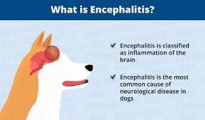 Causes Of Sudden Blindness In Dogs Encephalitis Brain Inflammation In Dogs Canna Pet