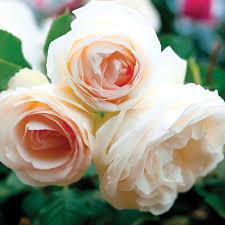 white eden climbing rose bush 100 petals hardy own root climber
