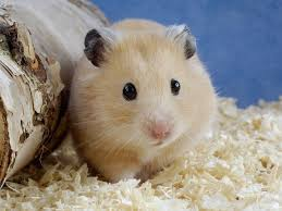 download pictures of golden hamsters on animal picture society