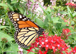 san antonio native plants butterfly gardens the beauty and benefits san antonio
