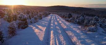 choose n cut northern lights christmas tree farms