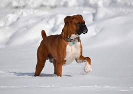 boxer dog howling 12 photos of our readers u0027 beautiful boxers