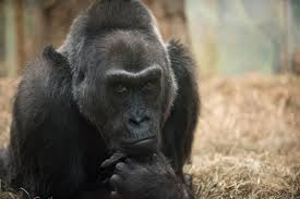 oldest zoo gorilla set to have biopsy before 60th birthday