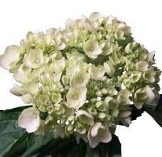 wholesale hydrangeas wholesale bulk silver hydrangeas flower for weddings