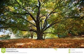 majestic tree stock photo image of grand garden leaves 5204200